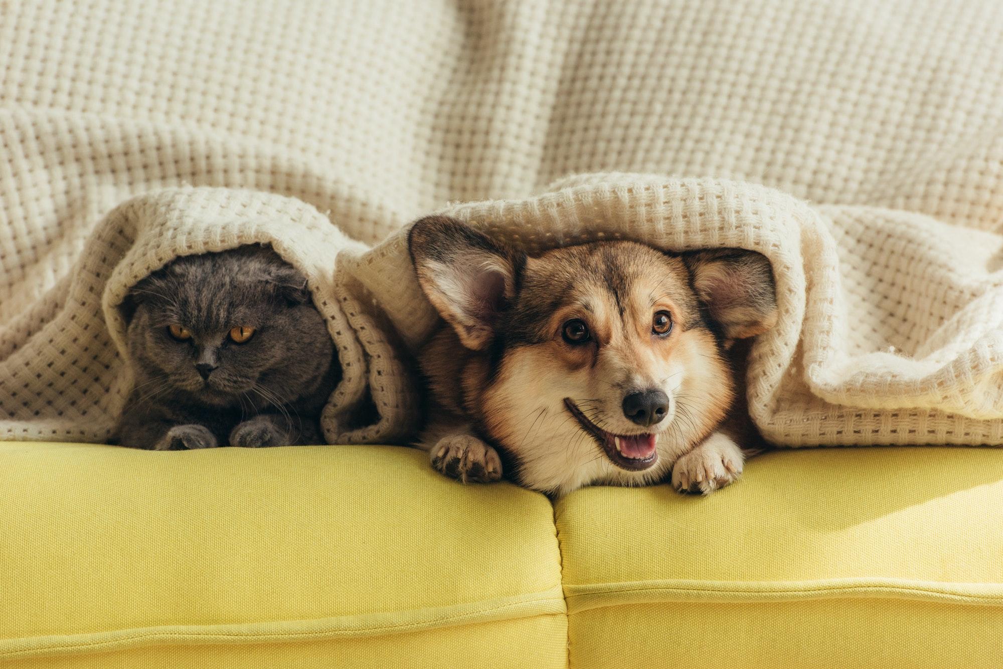 cat and dog lying under plaid on sofa